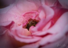 Julie Powell_Roses-17