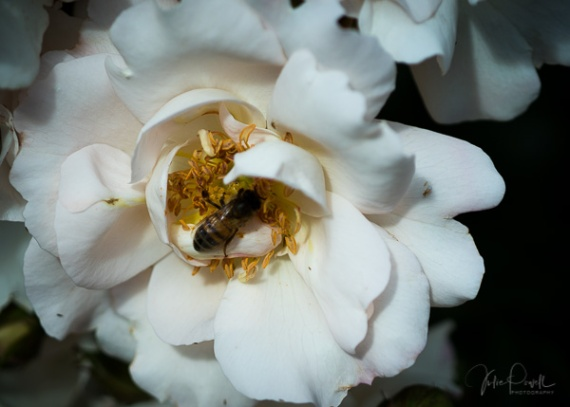 Julie Powell_Roses-18