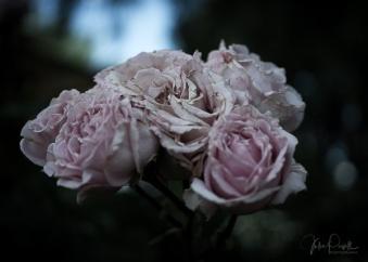 Julie Powell_Roses-19