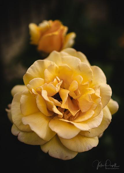 Julie Powell_Roses-22