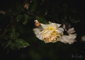 Julie Powell_Roses-23