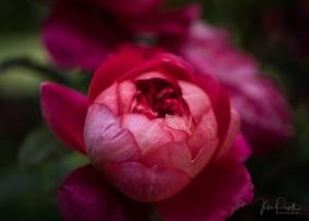 Julie Powell_Roses-25