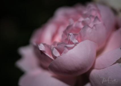 Julie Powell_Roses-28