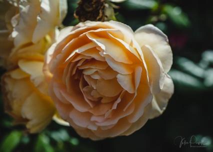 Julie Powell_Roses-29