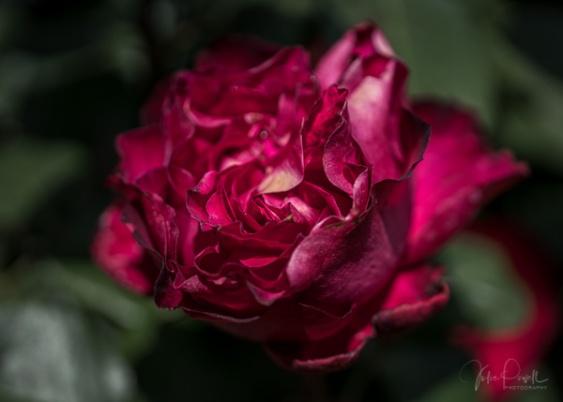 Julie Powell_Roses-6