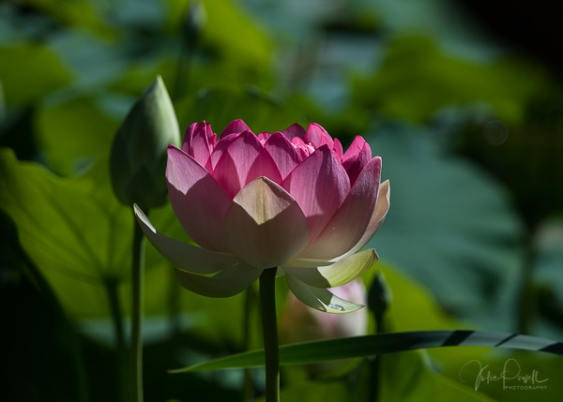 Julie Powell_Lotus-1
