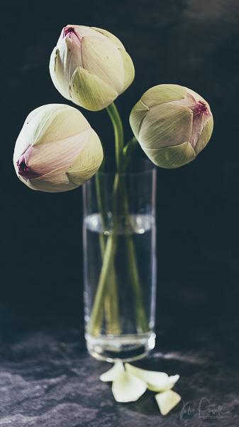 Julie Powell_Lotus-14