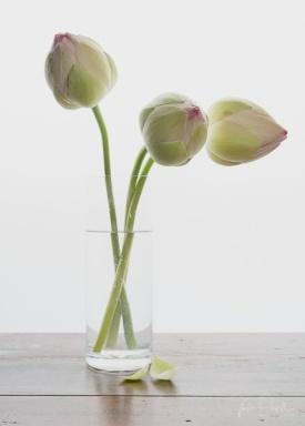 Julie Powell_Lotus-2