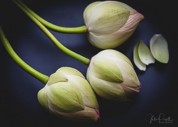 Julie Powell_Lotus-4