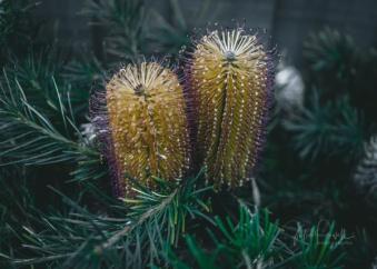 JuliePowell_Banksia-3