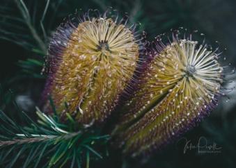 JuliePowell_Banksia-4