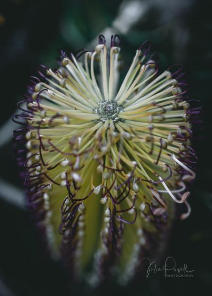 JuliePowell_Banksia-6