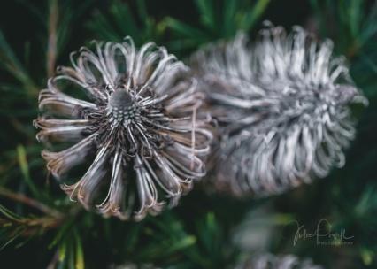JuliePowell_Banksia-7