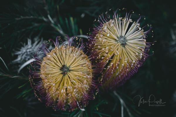 JuliePowell_Banksia