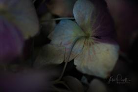 JuliePowell_Hydrangeas-3