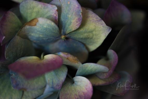 JuliePowell_Hydrangeas