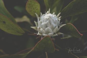 JuliePowell_Protea-7