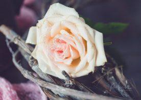 JuliePowell_Roses-10