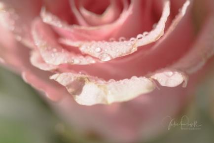 JuliePowell_Roses-11