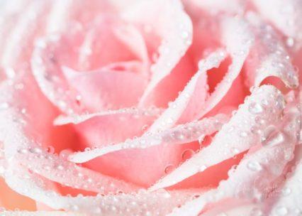 JuliePowell_Roses-18