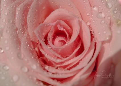 JuliePowell_Roses-5