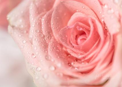 JuliePowell_Roses-6