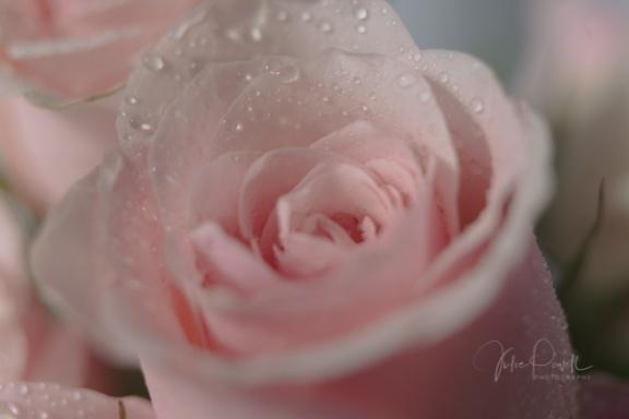 JuliePowell_Roses-9